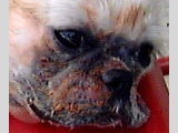 Facial folds needs daily cleaning but few owners have time to do so.