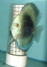 Black and white discus. Not a typcial circular body shape.