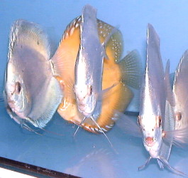 Diamond blue discus said to be in demand in 2001