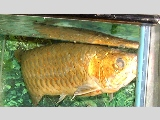 Over 10 years old Arowana or the Dragon Fish well loved by its busy Singapore owner