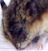 2.8 years old Singapore dwarf hamster anaesthesized.