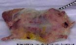 Hamster, ventral dermatitis, Singapore