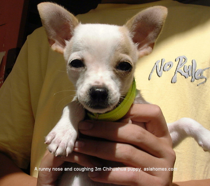 Singapore Chihuahua puppy with kennel cough