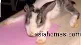 Sarcoptic mange in Singapore rabbit. Leg fracture too.