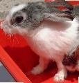 Singapore rabbit had sarcoptic mange mites infesting its nose