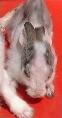 Singapore rabbit cured of sarcoptic mange