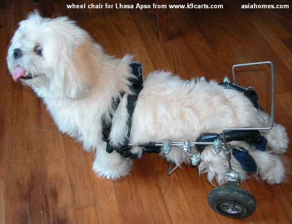 apso lhasa dog. the paralysed dog#39;s spine