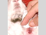Rabbit with a bigger cut to drain pus.