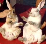 Rabbit's mange is contagious to rabbits.