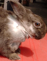 Rabbit scratches neck for weeks