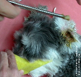 Singapore Schnauzer - pus in ear canals.  purulent otitis externa