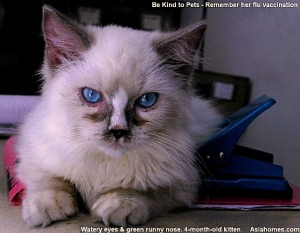 Upper Respiratory Tract infection in a Singapore Ragdoll, Toa Payoh Vets.