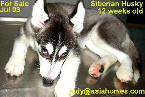 July 2003. Siberian Husky for sale, Singapore