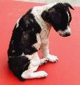 Kerosene applied to cross-bred pups to kill ticks.