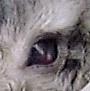Corneal ulcer in a Singapore rabbit.