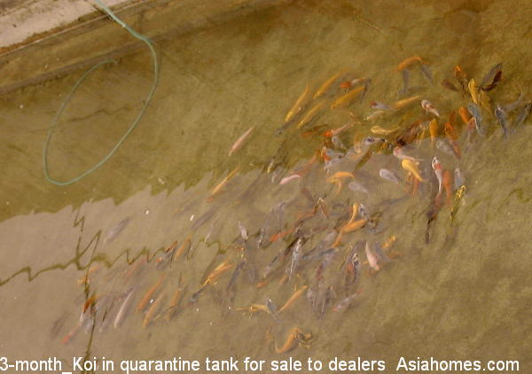 Singapore real estate educational article keeping of koi for Oldest koi fish