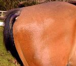 Tail end hairless