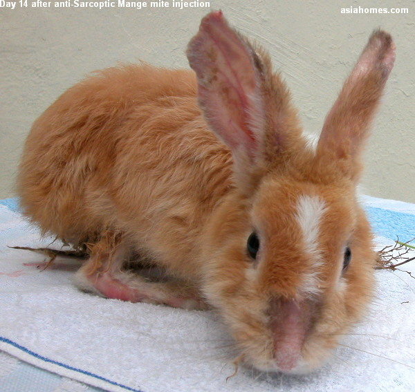 Sarcoptic Mange in a rabbit 14 days after anti-mite injection ...