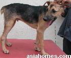 Singapore cross bred puppy - generalised demodectic mange