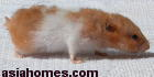 Singapore Golden Hamster 2 years old - Wet Tail - improper diet