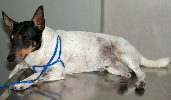 Singapore. 5-year-old Fox Terrier inguinal area inflamed