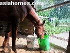 Singapore. Horse eats his breakfast - no more colic or fever