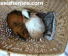 Singapore Guinea Pigs - one loses hair from bullying