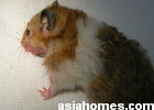Singapore Golden hamster with large cheek pouch on left side - 3 min after gas anaesthesia and stitching