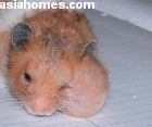 Singapore Golden hamster with large cheek pouch on left side