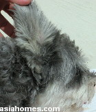 Singapore, Schnauzer excessive ear hairs, otitis externa. lateral ear canal resection, toapayohvets