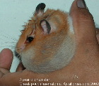 Singapore hamster - swollen cheek pouch