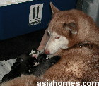 5 minutes after end of surgery and gas anaesthesia. Mother is awake and pups are brought to her.