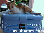 Singapore 7-month-old female cat for spay