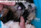 Singapore 2-month-old Shih Tzu puppy with pterygium in the right eye