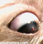 Singapore Shih Tzu 10 months - deep ulcerative keratitis - red basement membrane of cornea