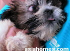 Singapore Shih Tzu pup imported from Australia- pterygium in the right eye