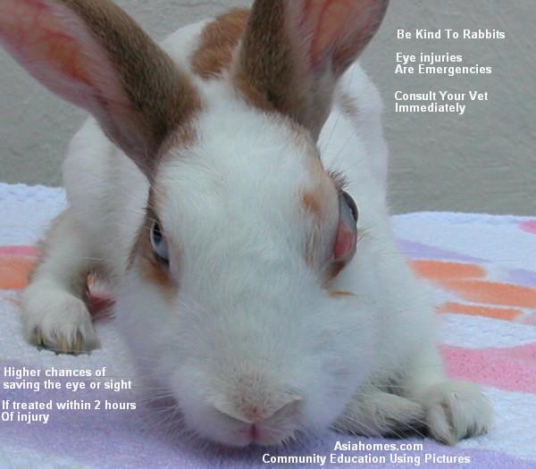 Rabbit Eye Injuries
