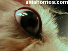 Singapore Shih Tzu 10 months - ulcerative keratitis seen on the operating table