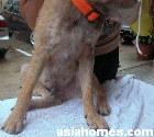 Demodectic mange in a 6 month cross-bred dog