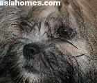 Singapore imports Lhasa Apso puppy 3 months old