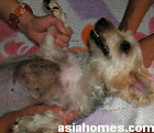 Bacterial folliculitis at the sternum - Silkie male neutered 4 years old