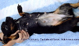 Singapore. Dachshund, 1-year-old with signs of pregnancy