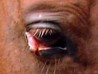 Horse: Eyelid healing well after 2 weeks of daily care.