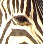 Zebra. Normal eyelids