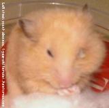 Singapore hamster. Pus in left eye. Swollen left cheek.