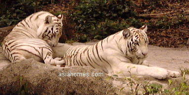 Singapore white Bengal tigers on a Sunday October 2001 morning 9 a.m