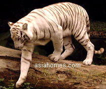 White Bengal Tiger at Singapore Zoological Gardens Oct 2001