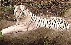 White Tiger at the Singapore Zoological Gardens : Sep 2001