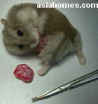 Singapore dwarf hamster 1.5 years old, tumour