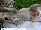Labrador 7 months old castration
